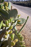Prickly Pear Fruit and Country Road. A number of prickly pear fruit (Opuntia ficus indica) attached to their cactus leaves on the side of a one lane country side Stock Images