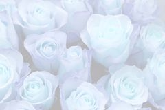 A number of roses Stock Images