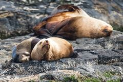 Seals off the Coast of Vancouver Island stock photos