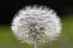 Cliche dandelion flower head royalty free stock images