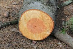 Tree rings on the tree, like a tree chronicle royalty free stock photo