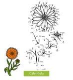 Numbers game for children, flower Calendula. Numbers game, education dot to dot game for children, flower Calendula Stock Photo