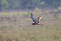 numenius eurasian curlew arquata Стоковая Фотография RF