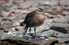 numenius phaeopus whimbrel Fotografia Royalty Free