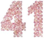 Numeral árabe 41, quarenta uns, das flores da hortênsia, isoladas no fundo branco fotografia de stock royalty free