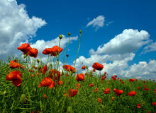 Numerosi papaveri rossi sul campo verde Fotografia Stock