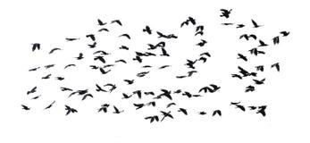 Numeroso stormo di volata nera degli uccelli isolata sul backg bianco del cielo Immagini Stock