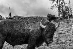 Numerous American Bison / Buffalo in Yellowstone National Park w Royalty Free Stock Photos