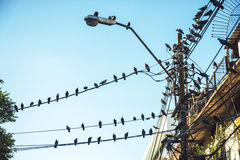 Numerous birds on electrical wire Stock Photography
