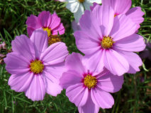 Numerous blooming bright color pink Mexican Aster flowers. In the green grass field royalty free stock photo
