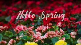 Numerous bright flowers of tuberous begonias Begonia tuberhybri. Hello Spring Lettering with Numerous bright flowers of tuberous begonias Begonia tuberhybrida in Stock Photo