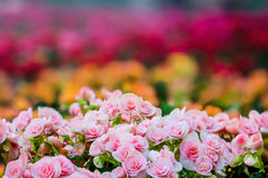 Numerous bright flowers of tuberous begonias. (Begonia tuberhybrida) in garden royalty free stock photography