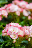 Numerous bright flowers of tuberous begonias Royalty Free Stock Images