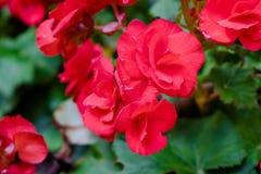 Numerous bright flowers of tuberous begonias Royalty Free Stock Photo