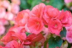 Numerous bright flowers of tuberous begonias Royalty Free Stock Image