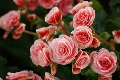 Numerous bright flowers of tuberous begonias Stock Photos