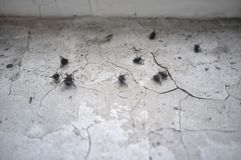 Numerous dead dried flies on a dirty window sill with exfoliating paint, in late winter, in a town house. Close-up stock photo