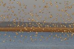 Numerous  flock  dunlin flying at sunrise Stock Photo