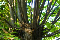 Numerous green branches extending from the tree trunk Stock Image