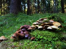 Large group of mushrooms on mossy trunk. The numerous large group of mushrooms growing from the old mossy trunk Royalty Free Stock Photos
