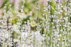 Numerous lavender flowers and butterfly Stock Image