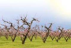 Numerous peach trees Stock Photo