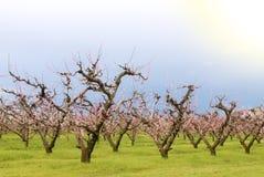 Numerous Peach Trees Stock Photo