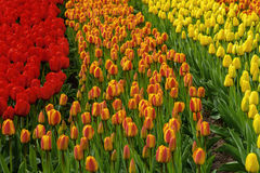 Numerous publicly accessible colour tulip fields in bloom in dutch spring Keukenhof Gardens. In the Netherlands. Travel photo. Horizontal stock photo