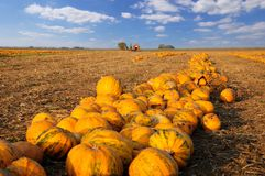 Numerous pumpkins lined up in a field stock image