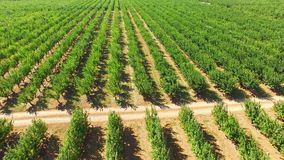 Numerous Rows Of Apple Trees Growing In Large. In the frame there is a bird's eye view over numerous rows of green apple trees moved by the wind in large stock footage