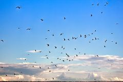 Numerous tern in the sky. Numerous sea swallows, terns in sky. Arctic tern and common tern, Eastern part of Gulf of Finland, Baltic sea stock photography