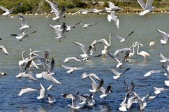 Numerous seagulls flying. Numerous seagulls (Larus) flying over a pond with some flamingos Stock Image