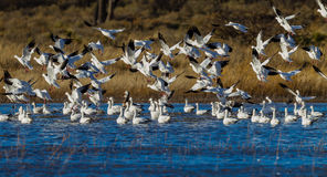 Numerous snow geese migrate to Bosque del Apache in New Mexico. In December Stock Photos