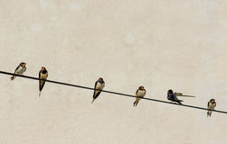 Numerous Swallows Sitting on Wire Stock Images
