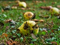 Numerous wasps on a ripe pear stock photos