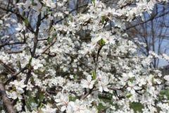 Numerous flowers of Prunus cerasifera in spring. Numerous white flowers of Prunus cerasifera in spring stock photos