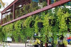 Nummularia повешенное Variegata Dischidia, красиво украшенный на s Стоковые Фотографии RF