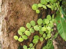 Nummularia de Dischidia en árbol Fotos de archivo libres de regalías