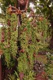 Nummularia Variegata Dischidia, завод epiphytes Стоковое Изображение RF