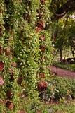 Nummularia Variegata Dischidia, завод epiphytes Стоковые Изображения RF