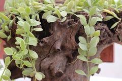 Nummularia Variegata Dischidia засаженное в старом деревянном баке Стоковые Фотографии RF