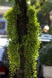 Nummularia Variegata Dischidia было повешено с деревом стоковые изображения