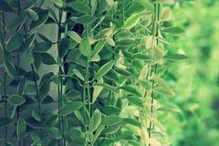Nummularia Variegata Dischidia Стоковое фото RF