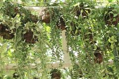 Nummularia Variegata Dischidia Стоковое Изображение