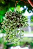 Nummularia Variegata Dischidia Стоковые Фото