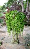 Nummulariifolia Pilea/проползая Чарли Стоковое Изображение RF