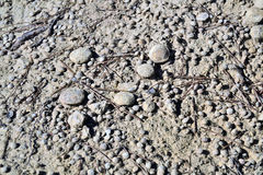 Nummulites. Accumulation in the mountains of lentil, region of Anoia, Catalonia, Spain Royalty Free Stock Image