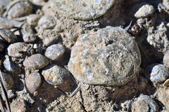 Nummulites. Accumulation in the mountains of lentil, region of Anoia, Catalonia, Spain Stock Photos