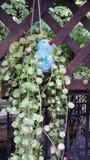 Nummullaria Dischidia Стоковая Фотография