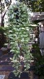 Nummullaria Dischidia Стоковые Фото